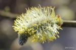 blühende Weidenkätzchen