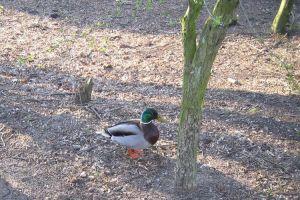Ente watschelt über braune Erde , kleine Blätter an den Zweigen